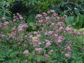 Sterndolde 'Rosea' - Astrantia maxima 'Rosea'