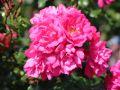 Bodendeckerrose 'Heidetraum' � ADR-Rose - Rosa 'Heidetraum' � ADR-Rose