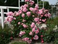Strauchrose 'Uetersens Rosenprinzessin' � - Rosa 'Uetersens Rosenprinzessin' �