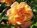 Strauchrose 'Westerland' � - Rosa 'Westerland' �