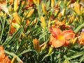 Taglilie 'Tuscawilla Tigress' - Hemerocallis x cultorum 'Tuscawilla Tigress'