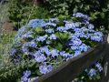 Tellerhortensie / Bauernhortensie 'Blaumeise' - Hydrangea macrophylla 'Blaumeise'