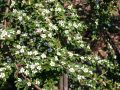 Teppichmispel / Zwergmispel 'Coral Beauty' - Cotoneaster dammeri 'Coral Beauty'