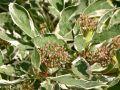 Wei�bunter Hartriegel 'Elegantissima' - Cornus alba 'Elegantissima'