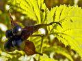 Wei�e Rosenkerrie / Scheinkerrie - Rhodotypos scandens