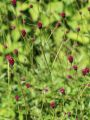 Wiesenknopf 'Tanna' - Sanguisorba officinalis 'Tanna'