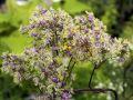 Wiesenraute 'Anne' - Thalictrum rochebrunianum 'Anne'