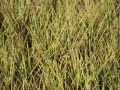 Zebraschilf 'Gold Bar' � - Miscanthus sinensis 'Gold Bar' �