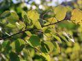 Zitterpappel / Espe / - Populus tremula